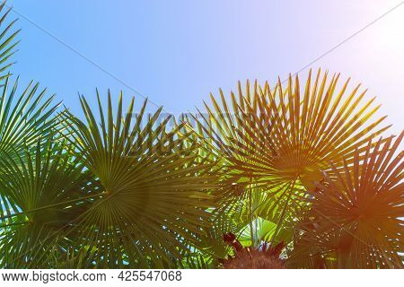 Tree Palm Bright Sun Summer Background. Tropical Palms Leaves. Copy Space