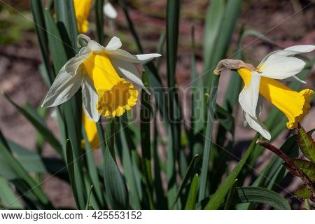 Blooming Flowers Of Daffodils In Spring Time Macro Photography. Blossom Garden Narcissus With White
