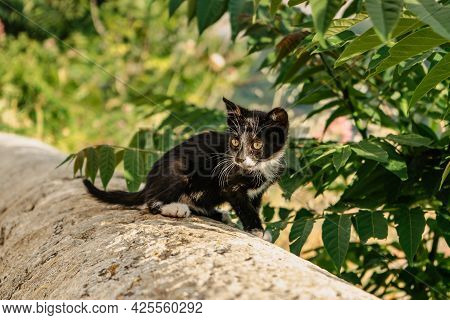Small Black Kitty With White Paws Outdoors.cute Cat Sitting On Wall Trees In Background. Adorable Ba