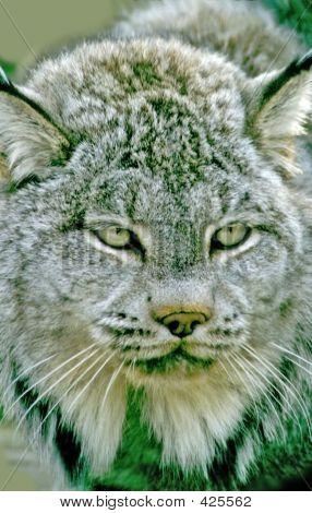 Lynx Head Shot