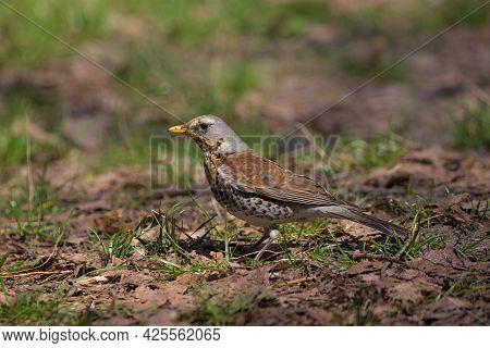 A Cute Fieldfare Bird Walks On Last Year's Foliage In A City Park.the Fieldfare Looking For Food In