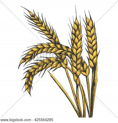 Wheat Ear Spikelet Color Line Art Sketch Engraving Vector Illustration. T-shirt Apparel Print Design