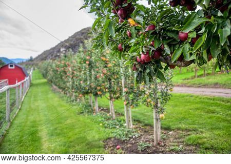 Ripe Ruby-red Apples Among Green Leaves With Farm Field On Blur Background