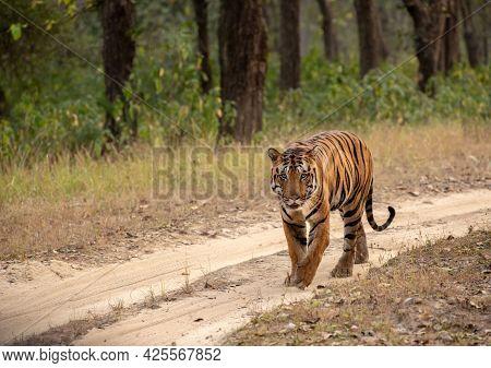 Great Tiger In The Nature Habitat. Wildlife Scene With Danger Animal Tiger.