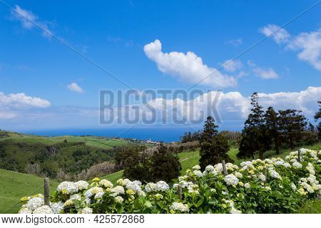 Beautiful rows of hydrangea flowers on the northern coast of Flores, Azores, Portugal.