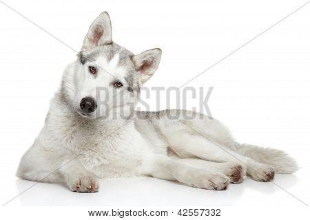 Siberian Husky Dog On White Background