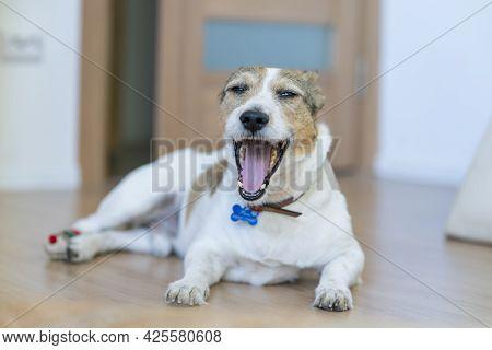 Funny Sleepy Yawning Dog Is Yawn At Home, Looking At Camera, Lying On Floor, Want To Sleep