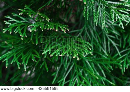 Closeup Fresh Green Christmas Leaves, Branches Of Thuja Trees On Green Background.conifer Cedar Thuj