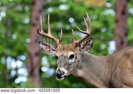 White Tail Deer,  Buck, Bitterroot Mountains, Montana