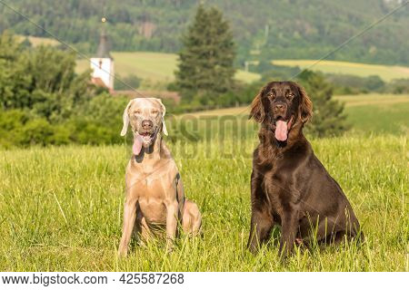 Brown Flat Coated Retriever Puppy And Weimarane On A Summer Meadow. Hunting Season. Pointer And Retr