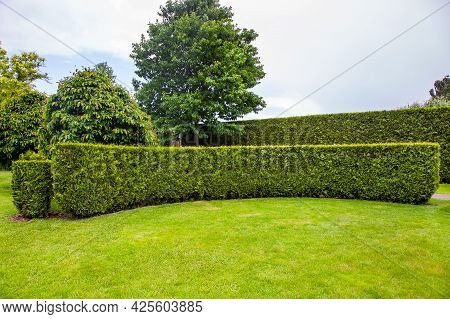 Curved Thuja Hedge In A Garden With Trees And A Green Lawn Summer Backyard Landscape, Nobody.