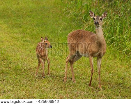 Mother Doe With Spotted Fawn White Tail Deer Standing On High Alert