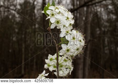 Dogwood Flowers On A Branch In The Spring In Georgia