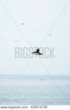 Flying puffin over the Farne Islands in Northumberland, England