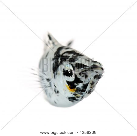 Sailfin molly - Dalmatian Molly - Poecilia latipinna in front of a white background poster