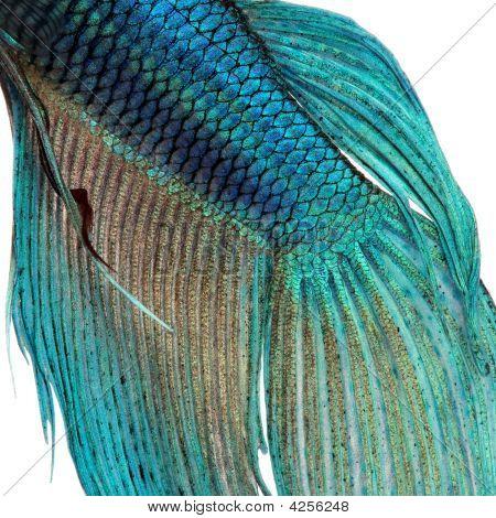 Close-up em uma pele - peixe siamês azul - peixe Betta Splendens