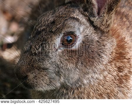 Rabbits Are Small Mammals In The Family Leporidae Of The Order Lagomorpha. Oryctolagus Cuniculus Inc