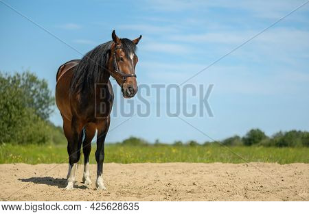 Trotter With Its Black Leather Bridle Is Standing On The Sandy Ground Of A Training Arena In Outdoor