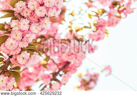 Branch Of A Blossoming Apple Tree In A Spring Garden. Spring Blossom. Selective Focus.