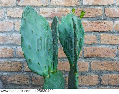 Opuntia Prickly Pear Cactus Pads Close Up View