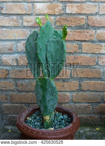 Opuntia Prickly Pear Cactus Plant With Bricks Wall Background