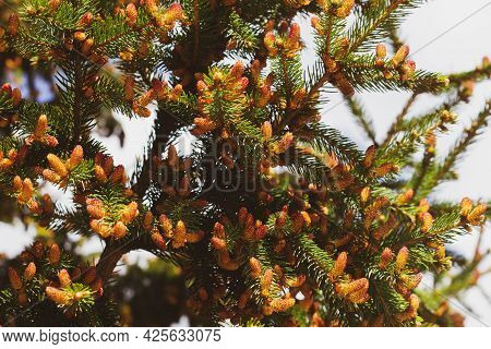 Blooming Spruce. Red Young Shoots On A Pine Tree. Flowering Branch Of A Fir Tree. Young Shoots On Sp
