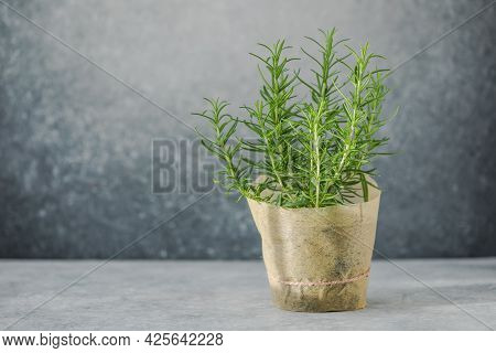 Rosemary Grows In A Pot.  Eco Concept. Eco Food.rosemary Grows In A Pot.  Eco Concept.