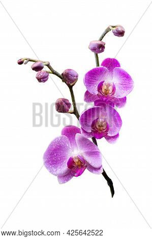 Blooming Twig Of Exotic Purple Orchid Flower