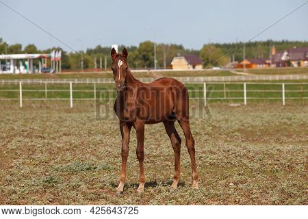 Handsome Brown Young Horse Or Colt Grazing At A Horse Farm