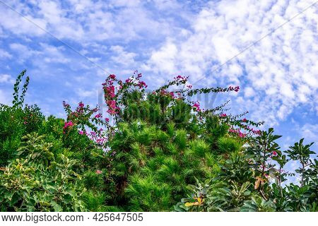 Blooming Branches Of Bougainvillea Among Thickets Of Trees Against A Blue Sky. Natural Floral Backgr