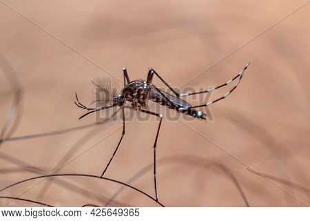 Close-up Photo Of Aedes Mosquito Sucking Blood On Human Skin