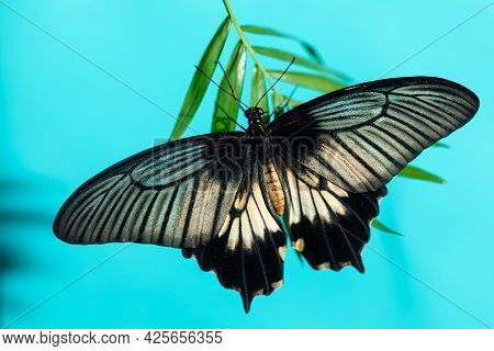 Large Tropical Butterfly Papilio Lowi On Flowers Of Orchid. Blue Background