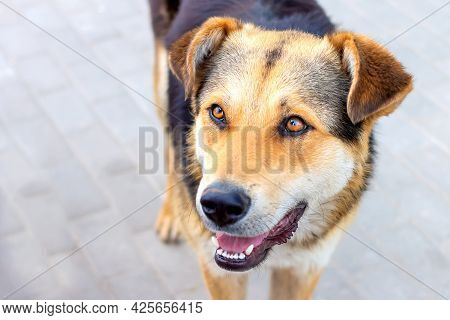 Close-up And Soft Focus Portrait Of A Homeless Pooch Dog Against The Background Of A Road Tile That