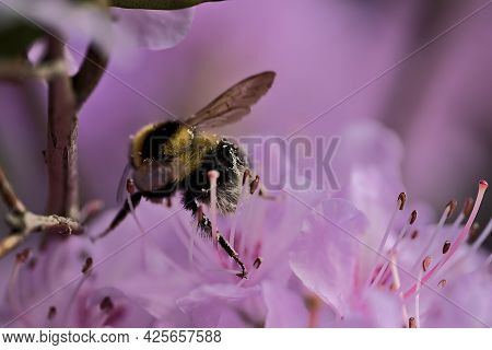 Beautiful Spring Macro View Of Bumble Bee (bombus), Efficient Pollinator, Collecting Pollen From Pur