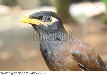 Common Myna (sturnus Tristis) Bird In Nature Portrait Of Common Myna In Nature Blur Background