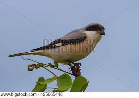 Lesser Grey Shrike (lanius Minor) Sitting On A Mopani Tree Branch In Kruger National Park, South Afr