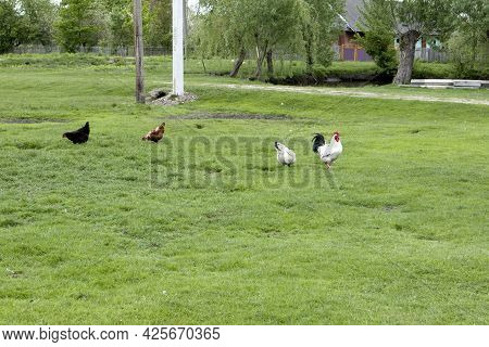 Red And White Chicken Walking In Meadow Ordinary White Rooster And Chickens Looking For Grains On Fa