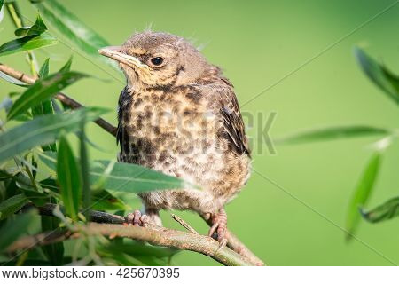 On The Green Branch Of The Tree Sits A Funny Yellow-throated Chick Of A Field Thrush. The Concept Of