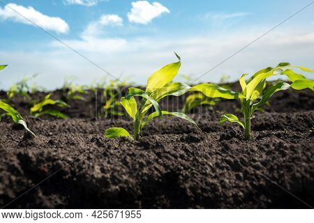 Young Corn Sprouts Grow In Rows In The Field Against The Blue Sky. Selective Focus. Agricultural Cro