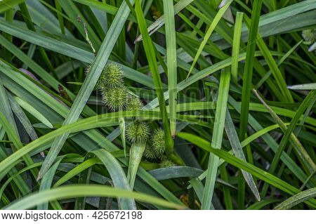 Closeup View Of A Bur Reed Aquatic Plant Partially Submerged In The Muddy Water At The Wetlands With