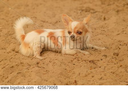 Chihuahua Dog Lies On The Sand. Chihuahua Puppy On The Beach Sand.