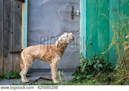 A Young Cute Shaggy Dog, A Domestic Pet Of The Wheaten Terrier Breed Stands Asks For Home Near The G