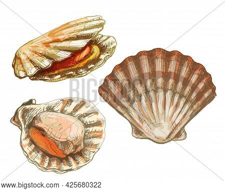 Shell Scallop In Different Angles. Vintage Hatching Color Illustration Isolated On White Background.