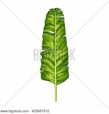 Palm Green Fresh Banana Leaf. Vintage Vector Hatching Color Hand Drawn Illustration Isolated On Whit