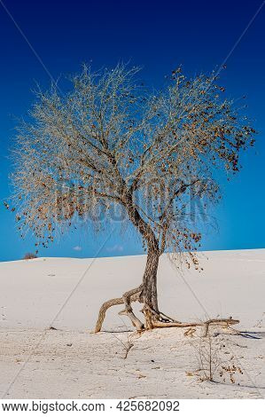 Roots Of Dry Tree Explode In Every Direction In Search Of Water In Gypsum Dunes