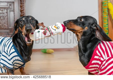 One Funny Dachshund Dog In Striped T-shirt Attacks Another To Pick Up Soft Toy In Shape Of Snowman.
