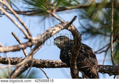 Hiding Red Shouldered Hawk Buteo Lineatus Bird Perched In A Tree Among Branches In Naples, Florida