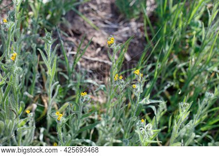 Scorpioid Cyme Inflorescences Of Coast Fiddleneck, Amsinckia Menziesii, Boraginaceae, Native In The