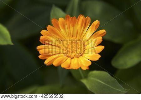 Сalendula Flowers Background . Orange Calendula Plant Petals, Close-up.