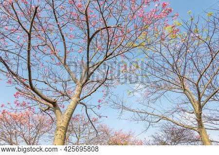 landscape of pink silk floss tree flowers at Taiwan
